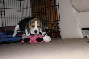 He loves this toy! We were given it as a reminder of his litter