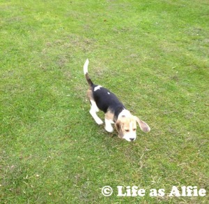 Alfie the first time we let him off!