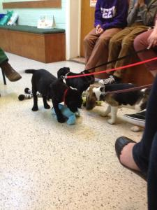 Here are all the pups getting to know each other! (The vet had hold of Alfie's lead)