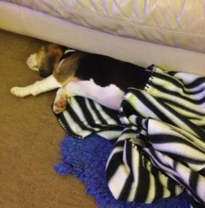 He then got too warm and pushed the blanket down with his paw!